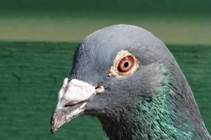 <b>EXCEPTIONAL</b>: Son Vetblauwe Jackpot fastest against 23,392 pigeons 1-10-54-57-64-65-86-89-91-94 etc. Morlincourt against 23,392 pigeons